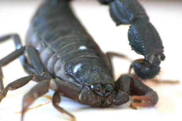 Chiều dài cơ thể của bọ cạp phun độc Nam Phi đạt 9 tới 11cm. Cơ thể chúng có màu nâm sẫm hoặc đen. Chúng phân bố ở sa mạc, các vùng đồng cỏ và bán hoang mạc ở các nước trong khu vực phía nam châu Phi như Zimbabwe, Mozambique, Nam Phi, Botswana.
