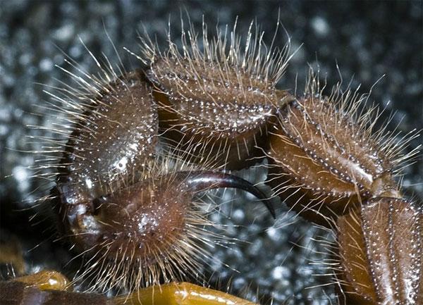 Cơ thể bọ cạp Parabuthus transvaalicus tiết ra một loại chất độc có khả năng khiến con người cười, co giật tới khi tử vong. Khi các nhà khoa học tiêm chất độc ấy vào chuột, cơ thể chúng vẫn co giật khoảng 30 giây sau khi chúng chết.