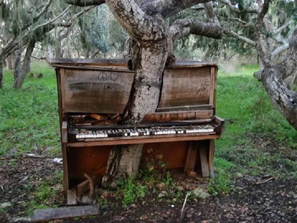 Cây xuyên qua đàn piano cũ trong trường Đại học California. (Ảnh:Weird - Wood)