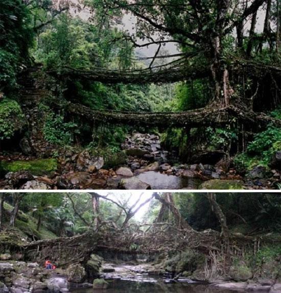 Bộ lạc War-Khasis ở thị trấn Cherrapunji, Ấn Độ, dùng rễ cây đa búp đỏ làm cầu. (Ảnh:Cools and Fools)