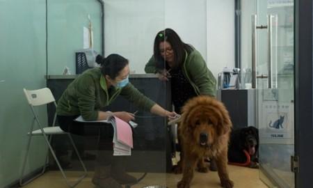 Bác sĩ thú y đang kiểm tra một con chó ngao Tây Tạng sau khi nó được các nhà hoạt động vì quyền động vật giải cứu khỏi lò mổ. Ảnh: NYT