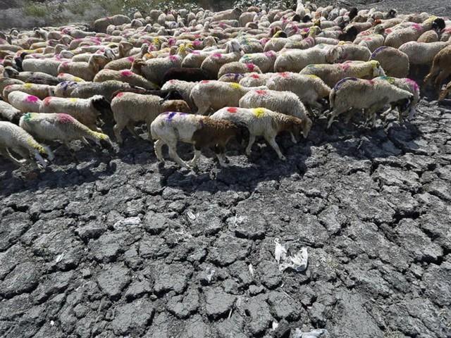 Đàn cừu đi qua một cái hồ khô cạn ở New Delhi hôm 27-5 - Ảnh: Reuters