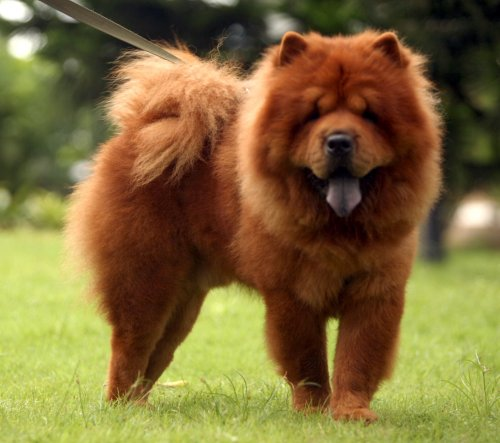 Chó ngao Tây Tạng (Chow Chow)
