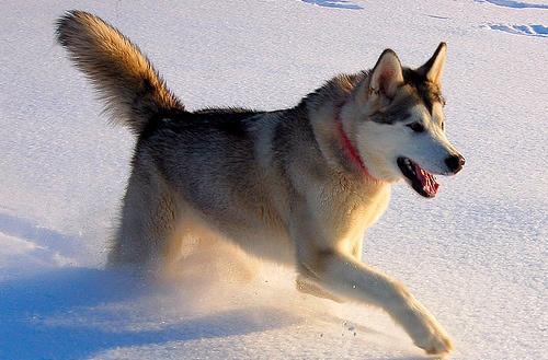 Giống chó Alaska