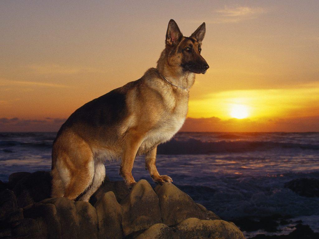 Chó German Shepherd, còn gọi là Chó chăn cừu Đức