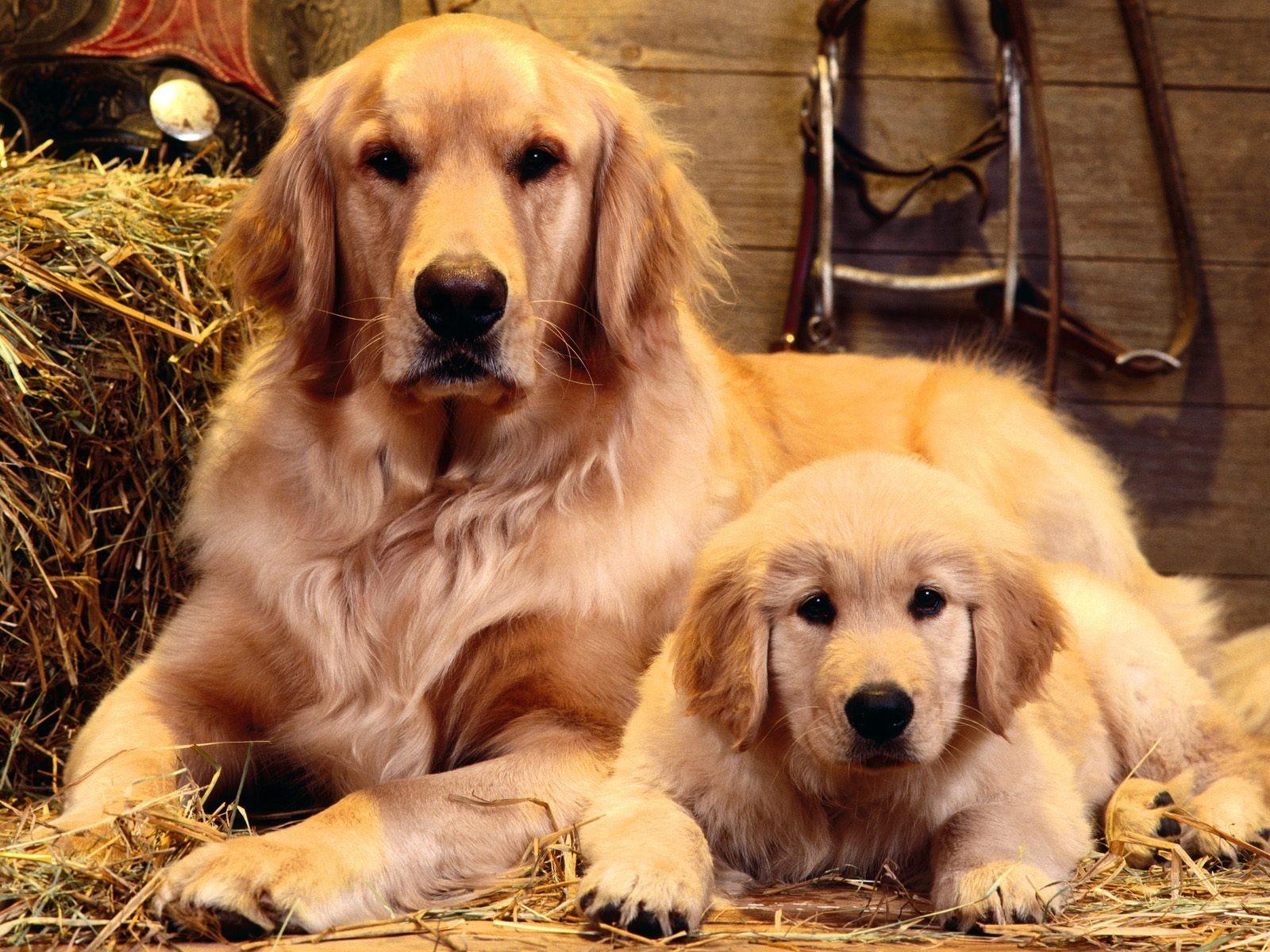Chó Golden Retrievers