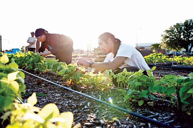 Khoảng 80% sản lượng rau của Hợp tác xã VEGGI cung ứng cho các nhà hàng ở Mỹ. Ảnh H.T