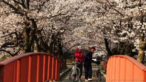 Mùa anh đào nở ở Osaka (Ảnh: Buddhika Weerasinghe/Getty)