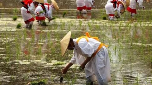 Một nghi lễ trong mùa trồng lúa ở Osaka (Ảnh: Buddhika Weerasinghe/Getty)