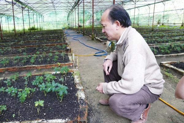 Cây sâm Ngọc Linh phát triển trong vườn ươm.