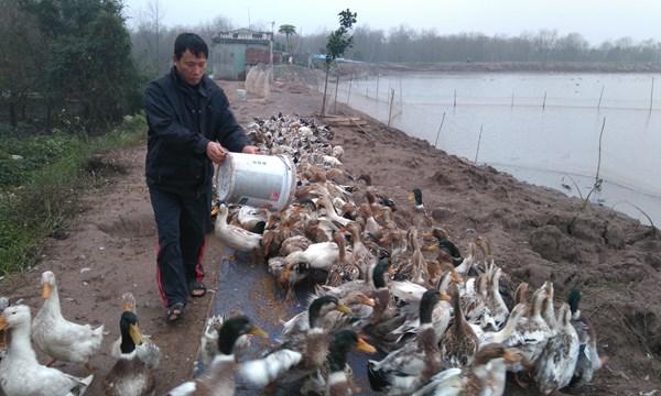 Tet doan vien dau tien Ông Đoàn Văn Vươn chăm sóc đàn vịt biển sắp đến ngày xuất chuồng. Ảnh: Mai Linh